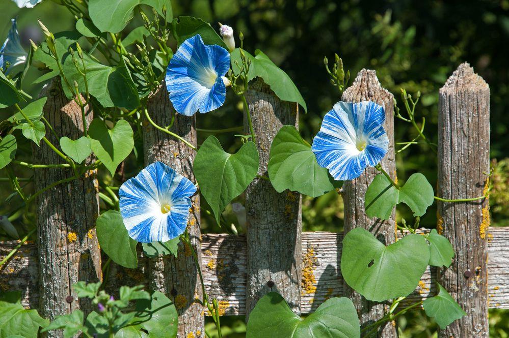 Weißblaue Zaungeheimnisse