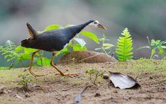 Weißbrust-Kielralle (Amaurornis phoenicurus)