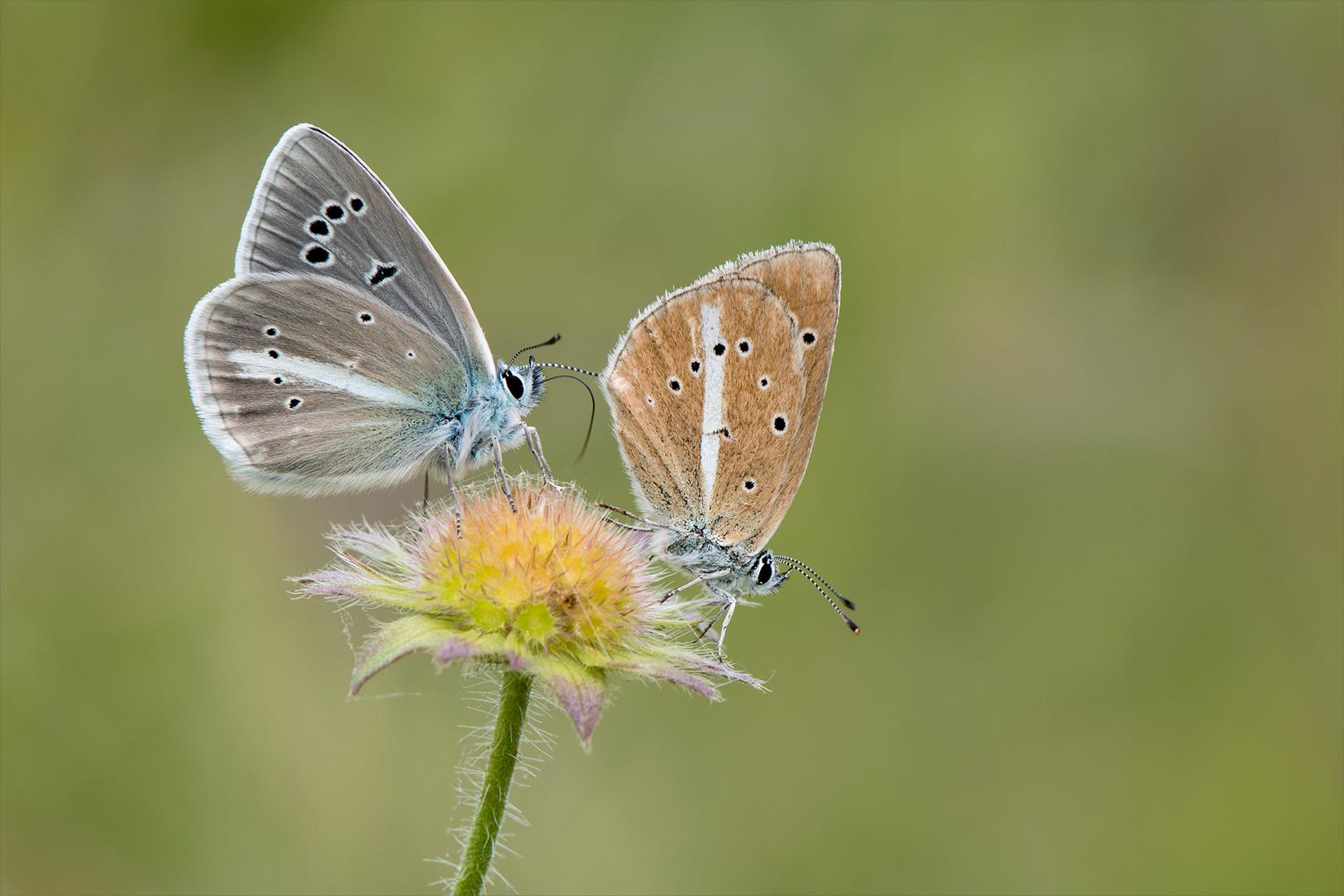 Weißdolchbläulinge - Pärchen
