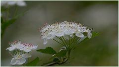 Weißdorn-Blüten
