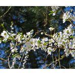 Weissdorn Frühlingsblüten.........