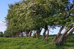 Weißdornbäume
