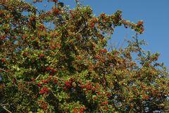Weißdornbaum