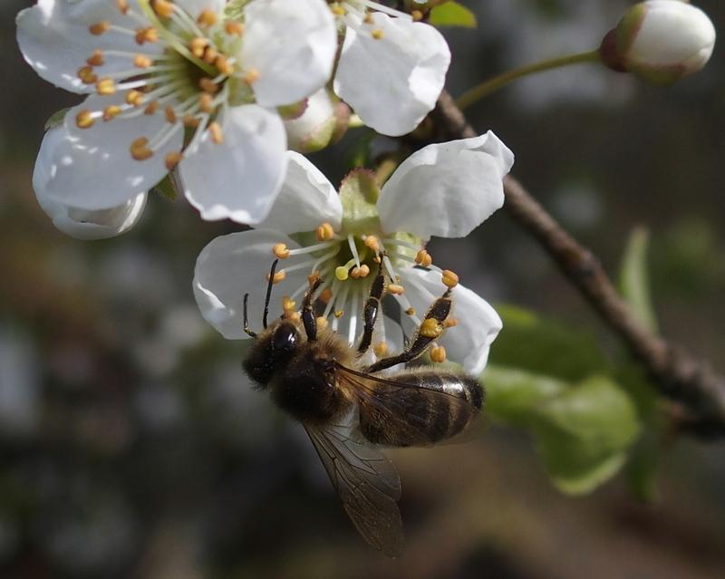 Weissdornblüte mit Biene