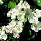 Weissdornblüten ...