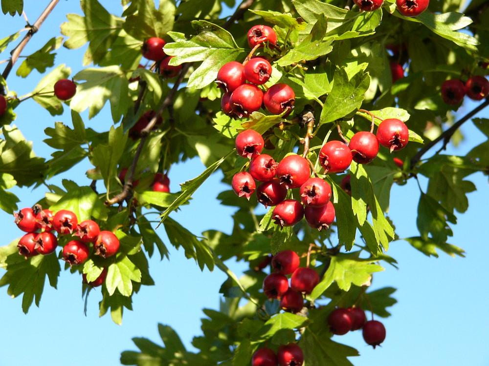 Weißdornfrüchte im Herbst