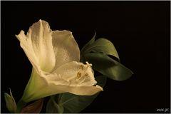 weiße Amaryllis (2)