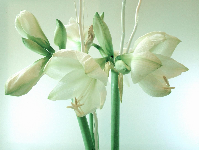 wei e amaryllis 2 foto bild pflanzen pilze flechten bl ten kleinpflanzen. Black Bedroom Furniture Sets. Home Design Ideas
