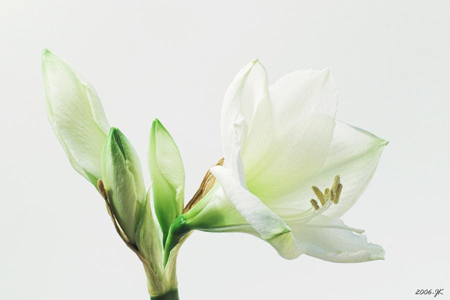 Weisse Amaryllis Foto Bild Pflanzen Pilze Flechten Bluten