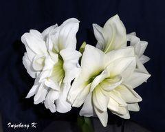 Weiße Amaryllis - so viele Blüten an einem Stil