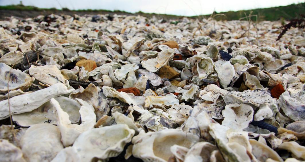 Weiße Austern in der Oosterschelde