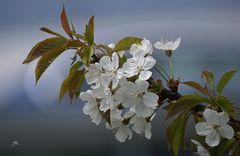 Weiße Baumblüte