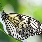 Das schmetterling im tier für der ist gefährlichste einen bauch und manchmal menschen Schmetterlinge