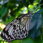 Weiße Baumnymphe (Idea leuconoe) aus Südasien
