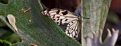 Weiße Baumnymphe in der Schmetterlingsausstellung in Stainz!