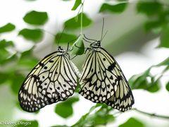Weisse Baumnymphen-Paarung 20120707