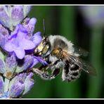 Weiße Biene