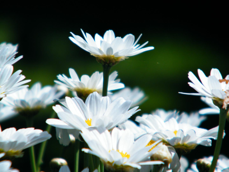 Weiße Blümchen im Garten :)