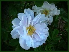 Weisse Blüte ...