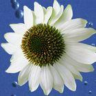 Weiße Blüte auf blauem Grund