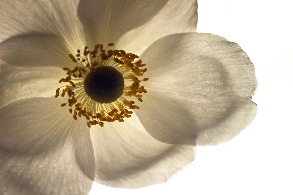 weisse bl te foto bild pflanzen pilze flechten bl ten kleinpflanzen gartenpflanzen. Black Bedroom Furniture Sets. Home Design Ideas
