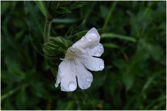 weiße-Blüte-Regen