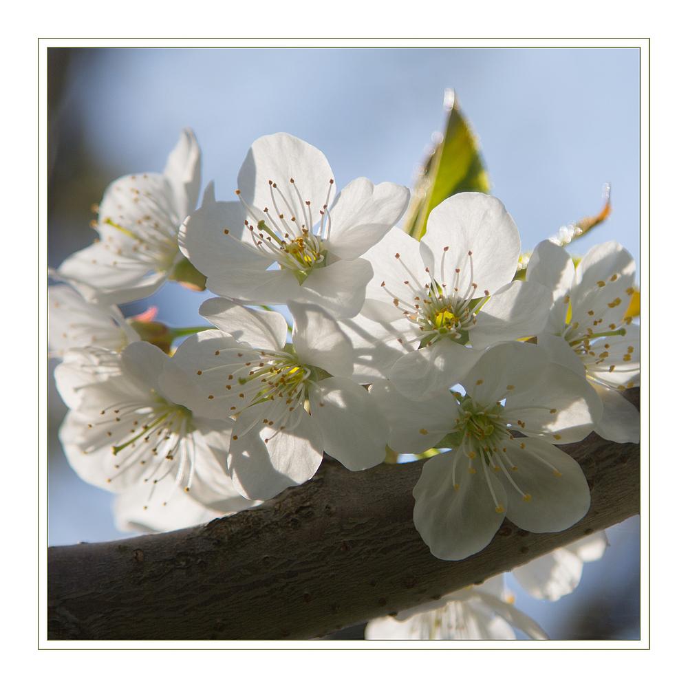 *Weiße Blüten-Träume*