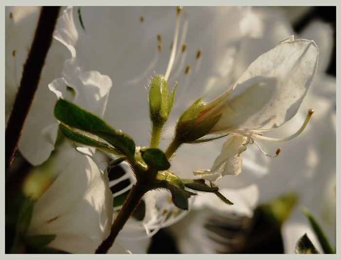 Weiße Blüten, von der Sonne durchdrungen