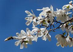 Weisse Blütenpracht