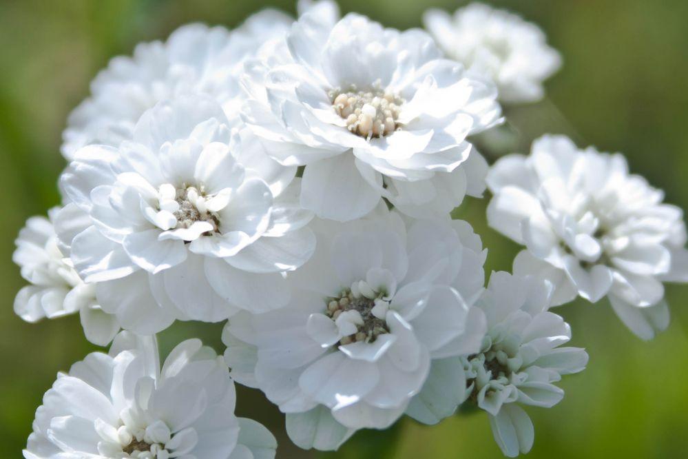 Weiße Blumen Foto & Bild   pflanzen, pilze & flechten, blüten ...