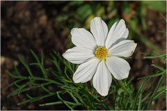 Weiße Cosmea