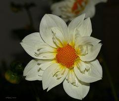 Weiße Dahlie