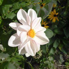 weiße Dahlie im Oktober in meinem Garten