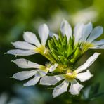 Weiße Fächerblume