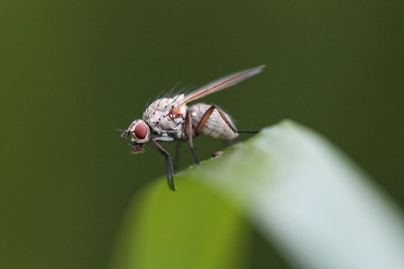 wei e fliege foto bild tiere wildlife insekten bilder auf fotocommunity. Black Bedroom Furniture Sets. Home Design Ideas