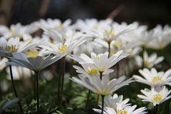 Weisse Frühlingsanemonen