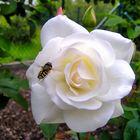 weiße gartenrose