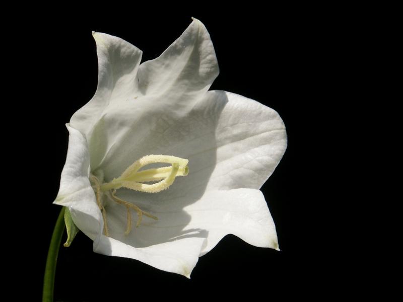 weiße Glockenblume....