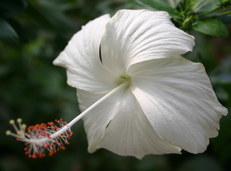 weiße Hibiskusblüte