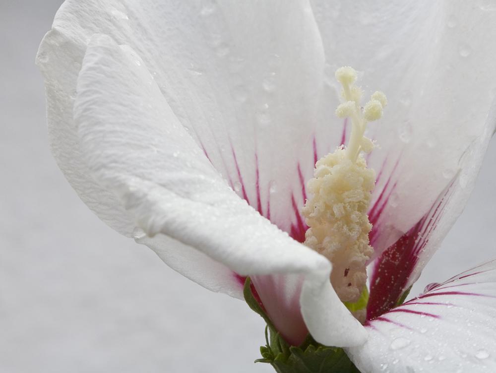 weiße Hibiskusblüte im Regen