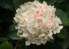 Weisse Hortensie mit rosa Farbflecken direkt nach Regen aufgenommen