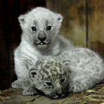 Weisse Jaguare
