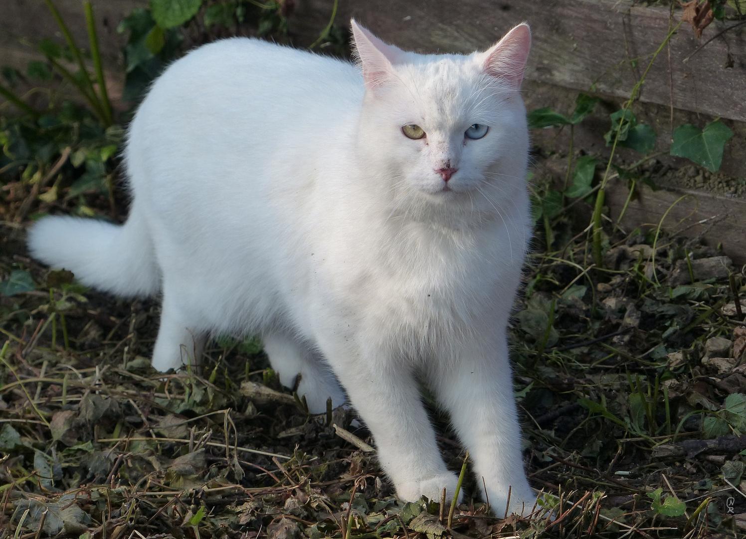 Weisse Katze