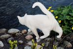 Weiße Katze unterwegs - 2