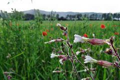 Weiße Lichtnelken im Kornfeld mit ein bisschen Mohn