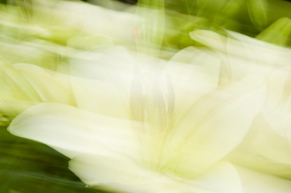 weiße Lilie mit Käfer