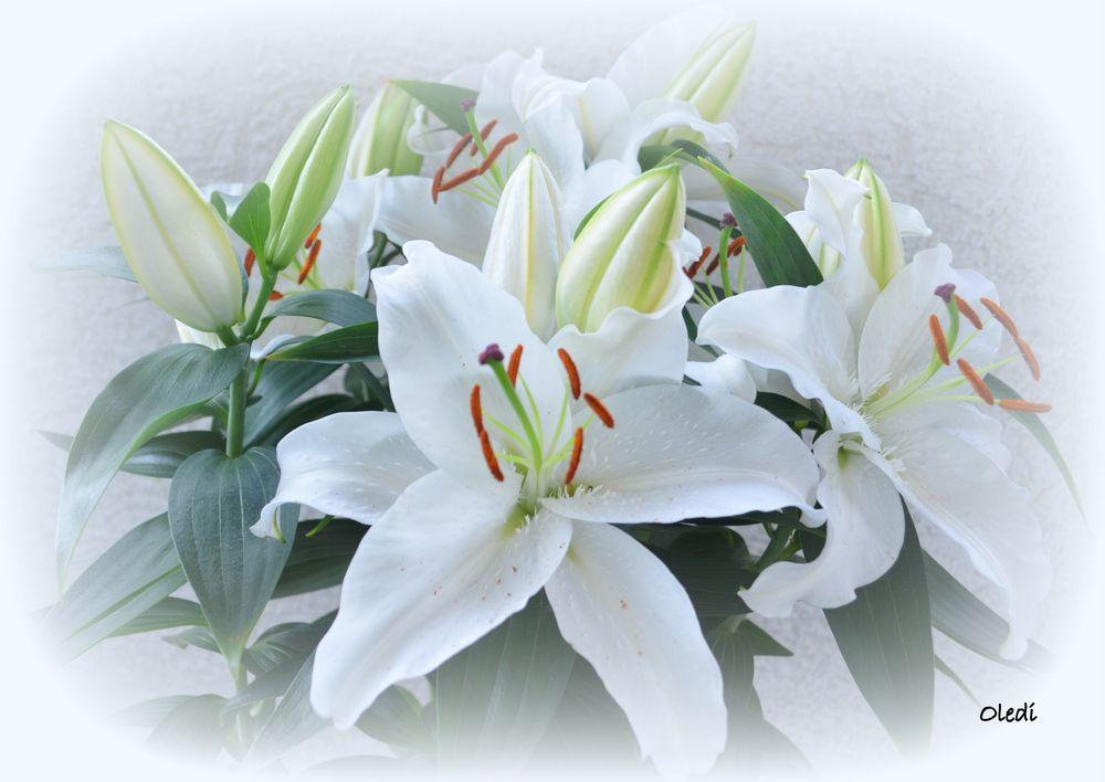 wei e lilien foto bild pflanzen pilze flechten bl ten kleinpflanzen iris und lilien. Black Bedroom Furniture Sets. Home Design Ideas