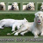 Weisse Löwen