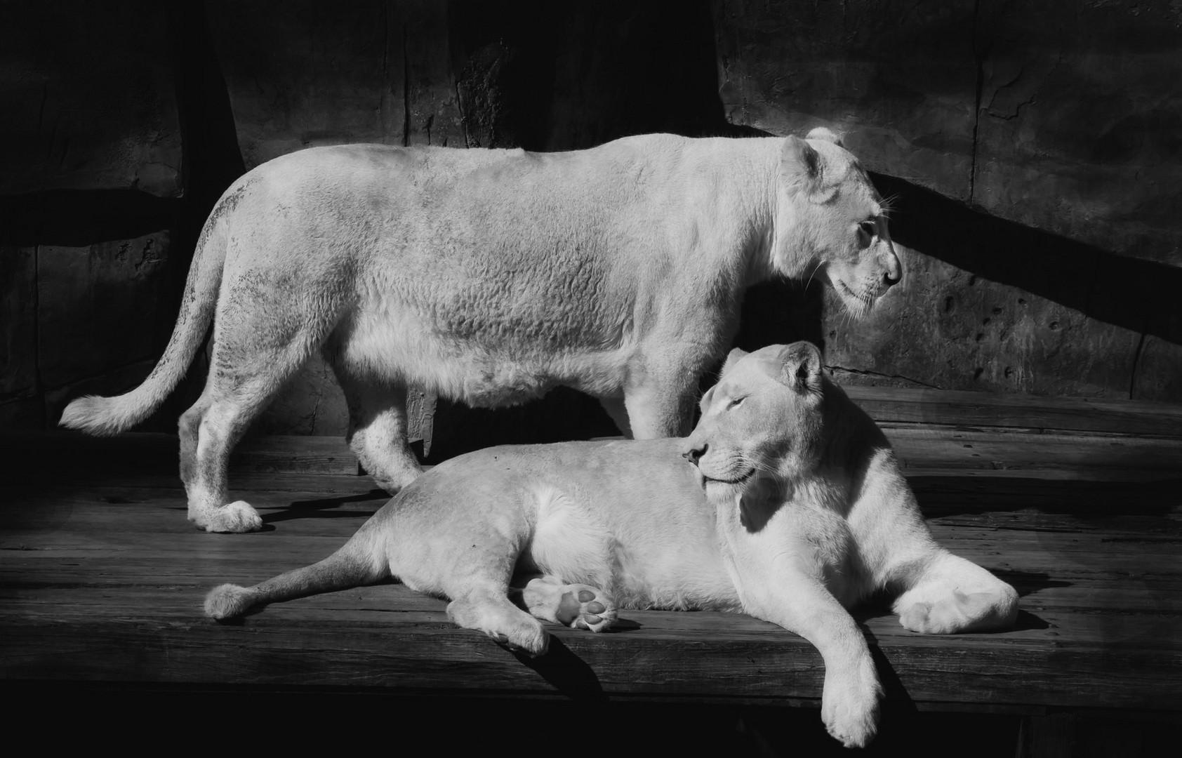 Weisse Löwen Damen