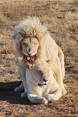 Weisse Löwen Liebe